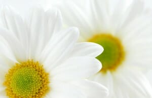 two-daisies1