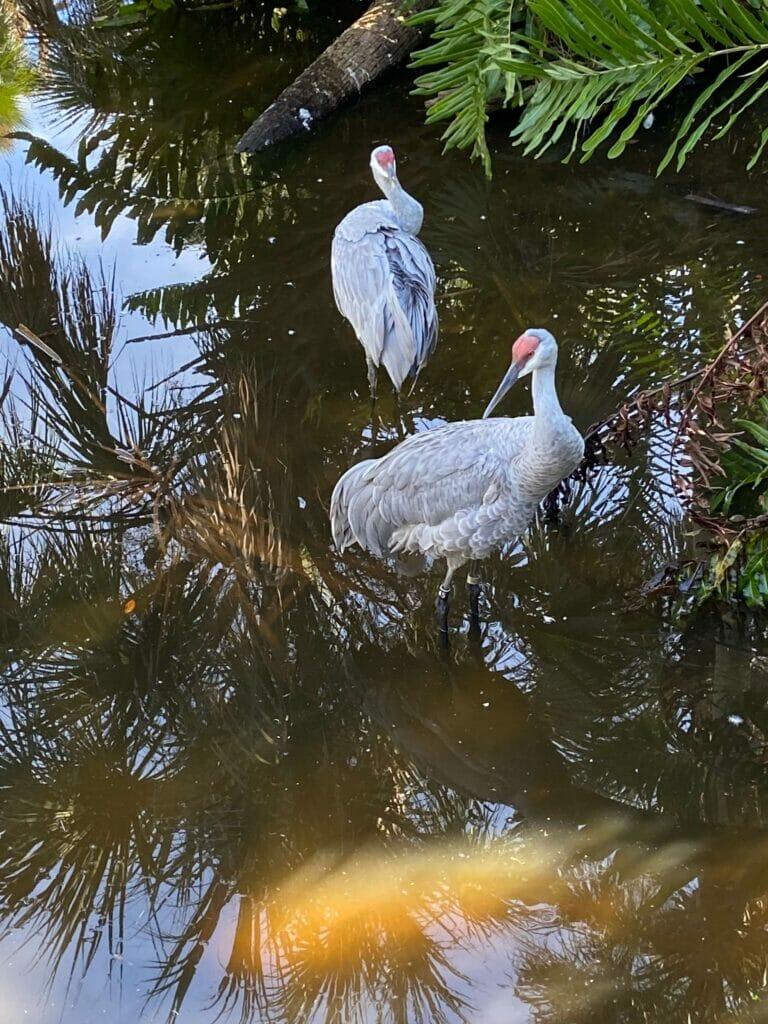 Sandhill Cranes - photo by Sherrie Pruett